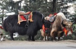 yak safari in spiti valley, adventure in spity valley